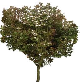 imagen Acer palmatum, en Fotografías para renders - Arboles y plantas