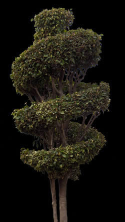 imagen Ficus ornamental 3, en Fotografías para renders - Arboles y plantas