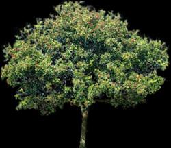 Arbol aroeira, en Fotografías para renders – Arboles y plantas