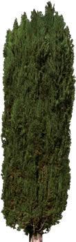 Arbol  – conifera, en Fotografías para renders – Arboles y plantas