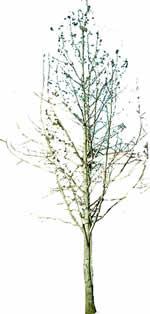Arbol de hojas caducas, en Fotografías para renders – Arboles y plantas