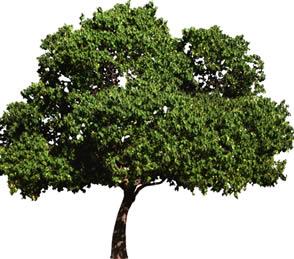 imagen Arbol, en Fotografías para renders - Arboles y plantas