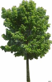 imagen Arbol - ficus, en Fotografías para renders - Arboles y plantas