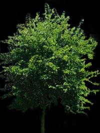 imagen Arbol pata-de-vaca, en Fotografías para renders - Arboles y plantas