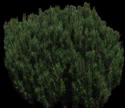 imagen Arbusto  con mapa de opacidad, en Fotografías para renders - Arboles y plantas