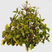 Arbusto rastrero, en Fotografías para renders – Arboles y plantas