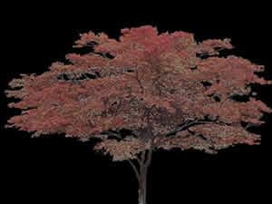 Arce japones, en Fotografías para renders – Arboles y plantas