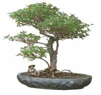 Bonsai, en Fotografías para renders – Arboles y plantas