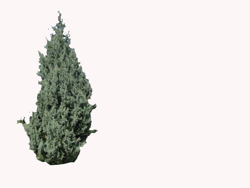 Conifera, en Plantas de interior 3d – Arboles y plantas
