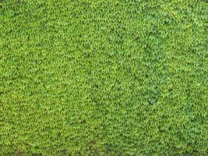 Enredadera, en Follajes y vegetales – Texturas