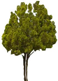 Ficus, en Fotografías para renders – Arboles y plantas