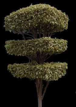 imagen Ficus ornamental 2, en Fotografías para renders - Arboles y plantas