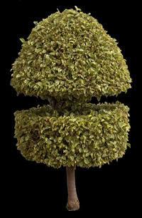 imagen Ficus ornamental, en Fotografías para renders - Arboles y plantas