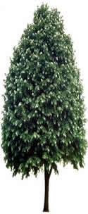 Iamgen de arbol para render, en Coníferas en 3d – Arboles y plantas
