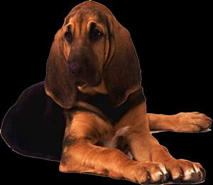 Perro bloodhound, en Fotografías para renders – Animales
