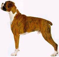 Perro boxer, en Animales 3d – Animales