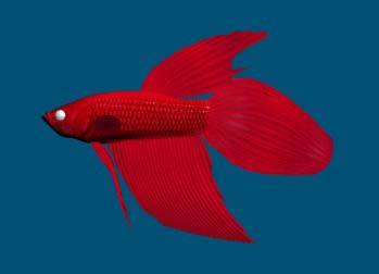 Pez beta rojo en 3d, en Animales 3d – Animales