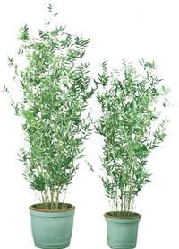 Planta bambú en maceta con mapa de opacidad, en Fotografías para renders – Arboles y plantas