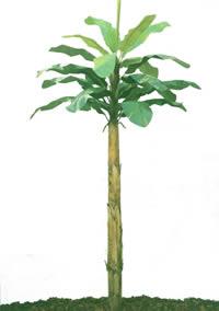 Planta  banano con mapa de opacidad, en Fotografías para renders – Arboles y plantas