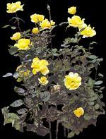 Rosal, en Fotografías para renders – Arboles y plantas