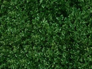 Textura de ligustro para cercos verdes, en Follajes y vegetales – Texturas